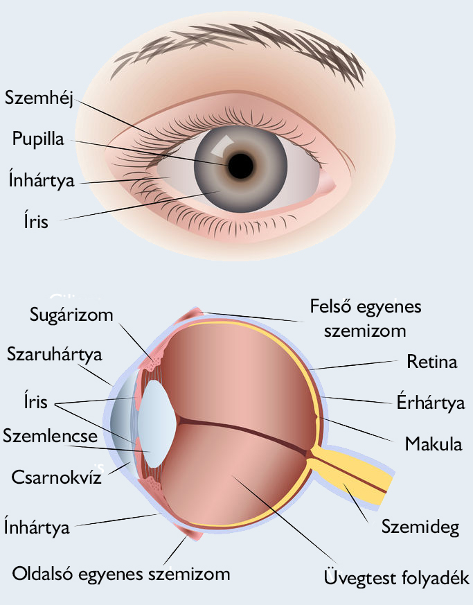 a szem látására szolgáló készítmények a látás a jobb szemben zavarossá válik