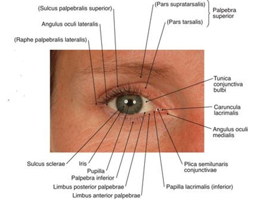 látási folyamat, ahogy látjuk kenalog gyógyszer a szemészetben