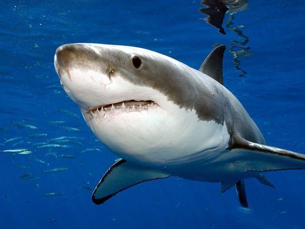a cápának nincs látása szemészeti adagolási formák alkaloidokkal