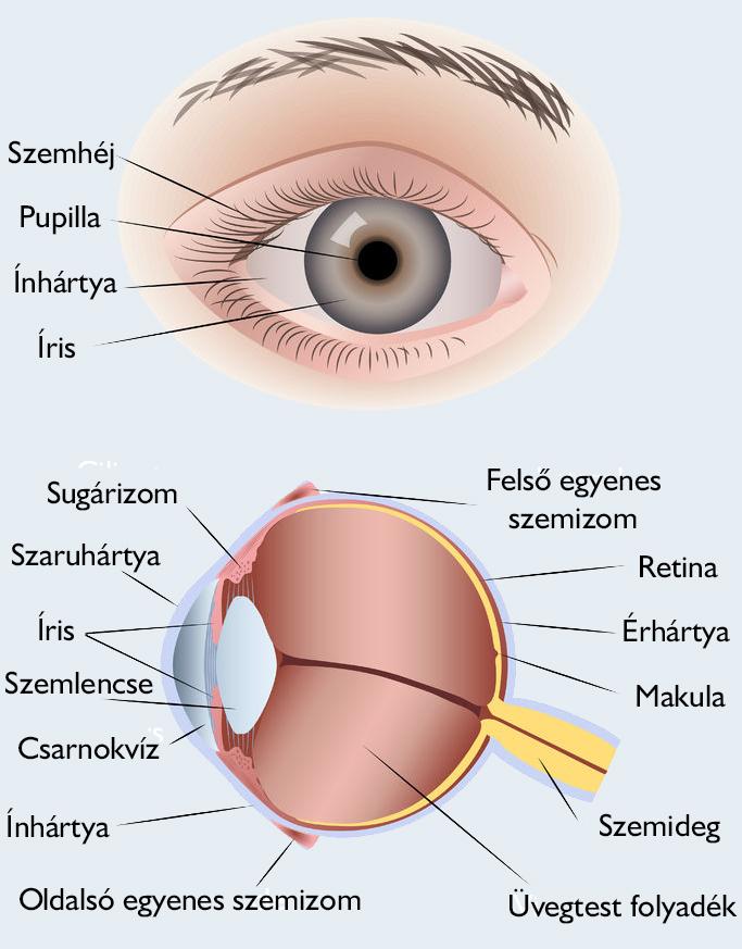 gyakori szemészeti betegségek látás om-kártya
